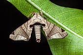 Moth (Apatelodes pandarioides) on a leaf, Saramaca, French Guiana