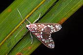 Moth (Araeomolis albipicta) on a leaf, Saramaca, French Guiana