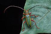 Longicorn (Chlorida festiva) on a leaf, Saramaca, French Guiana