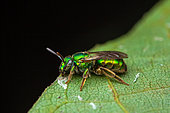 Sweat bee (Augochloropsis sp) on a leaf, Saramaca, French Guiana