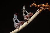 Treehopper (Cladonota foliata) males on Sabicea (Sabicea sp), Bagne des Annamites, French Guyana