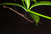 Mantis (Angela guianensis) on a leaf, Saramaca, French Guiana
