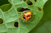 Tortoise beetle (Charidotella zona) on a leaf, Cayenne, French Guiana