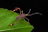 Leaf-footed bug (Anisoscelis foliaceus) nymph on a leaf, Kourou, French Guiana