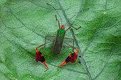 Leaf-footed bug (Anisoscelis foliaceus) on a leaf, Kourou, French Guiana