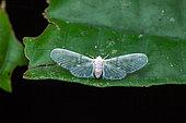 Derbid Planthopper (Derbidae sp) on a leaf, Kaw, French Guiana