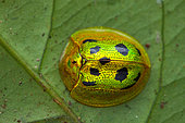 Tortoise beetle (Coptocycla undecimpunctata) on a leaf, Kaw, French Guiana