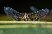Derbid Planthopper (Derbidae sp), Kaw, French Guiana
