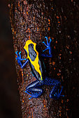 Dyeing poison frog (Dendrobates tinctorius) on a branch, Kaw, French Guiana