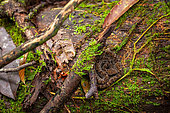 Barba Amarilla (Bothrops atrox) in the undergrowth, Kaw, French Guiana