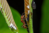 Ant (Ectatomma tuberculatum) with Treehoppers (Membracis) aned (Bolbonota sp) and nymphs on a leaf, Kaw, French Guiana