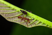 Ant (Ectatomma tuberculatum) on a leaf, Kaw, French Guiana
