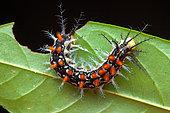 Stinging caterpillar, unknown species, Kaw, French Guyana