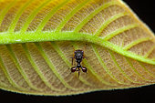 Ant-mimicking treehopper (Cyphonia clavata) on a leaf, Kaw, French Guiana