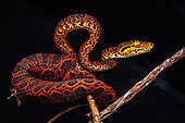 Amazon tree boa (Corallus enydris) young, Kourou, French Guiana