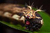 Owl Butterfly (Caligo sp) caterpillar, Belizon, French Guiana