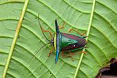 Stink bug (Edessa trabeata) on a leaf, Belizon, French Guiana