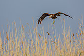 Western Marsh Harrier (Circus aeruginosus) hunting over a marsh in the Camargue, France