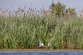 Family of Mute Swans (Cygnus olor), on the nest, in a marsh in the Camargue, France.