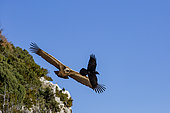Griffon Vulture (Gyps fulvus) and Raven (Corvus corax) in flight in the Baronnies, Drôme, France