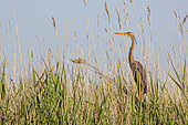 Purple heron (Ardea purpurea) posing in the reed bed of a Camargue marsh, France