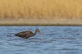 Glossy ibis (Plegadis falcinellus), feeding in a marsh in the Camargue, France.