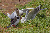 Black-headed gulls (Chroicocephalus ridibundus) attacking a puffin (Fratercula arctica) to retrieve fish it has just caught to feed its chick, Farnes Islands, UK.