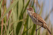 Great Reed Warbler (Acrocephalus arundinaceus), perched on a Phragmites, in a Camargue marsh, France