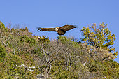 Griffon Vulture (Gyps fulvus) in flight in the Baronnies, Drôme, France