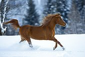 Young Arabian chestnut mare galloping through the snow, Austria, Europe