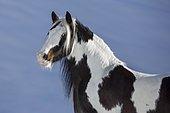 Pied Tinker mare in winter, portrait, Austria, Europe