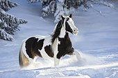 Pied Tinker mare running in deep snow, Austria, Europe