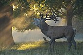 Red deer (Cervus elaphus), male in rut in morning mist with sun rays, Richmond Park, London, England, United Kingdom, Europe