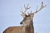 Portrait of a red deer (Cervus elaphus), Bavaria, Germany, Europe