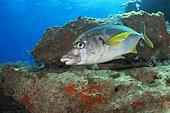 White trevally (Pseudocaranx dentex). Fish of the Canary Islands, Fuerteventura.