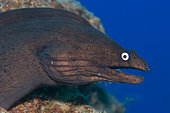 Canary fish. Black Moray (Muraena augusti), Tenerife, Canary Islands.