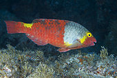Parrotfish -female- (Sparisoma cretense). Fish of the Canary Islands, Tenerife.