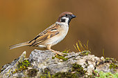 Eurasian Tree Sparrow (Passer montanus), side view of an adult standing on a rock, Campania, Italy