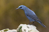 Blue Rock Thrush (Monticola solitarius), side view of an adult male standing on a rock, Campania, Italy
