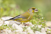 European Greenfinch (Carduelis chloris), side view of an adult male feeding on sunflower seeds, Campania, Italy