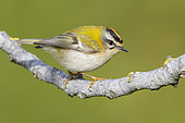 Common Firecrest (Regulus ignicapilla), side view of an adult male perched on a branch, Campania, Italy