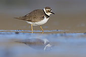 Little Ringed Plover (Charadrius dubius), side view of an adult female standing on the mud, Campania, Italy