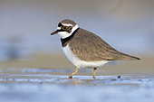 Little Ringed Plover (Charadrius dubius), side view of an adult standing on the mud, Campania, Italy