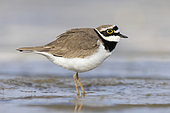Little Ringed Plover (Charadrius dubius), side view of an adult male standing on the mud, Campania, Italy