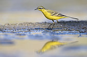 Yellow Wagatil (Motacilla flava), side view of an adult male standing on the ground, Campania, Italy