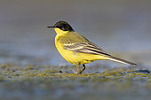 Yellow Wagatil (Motacilla flava feldegg), side view of an adult male standing on the ground, Campania, Italy