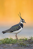 Northern Lapwing (Vanellus vanellus), side view of an adult female standing on the ground, Campania, Italy