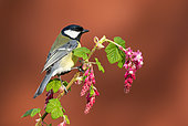 Great tit (Parus major) perched on redflower currant (Ribes sanguineum)