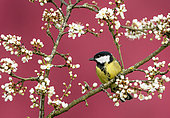Great Tit (Parus major) perched amongst blackthorn flowers, England