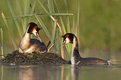 Great crested grebe (Podiceps cristatus) pair at the nest, England